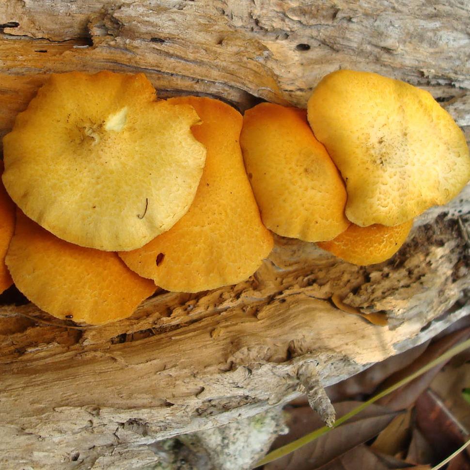 Psilocybe cubensis Gulf Coast