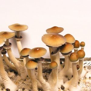 Psilocibe cubensis «Hawaii»