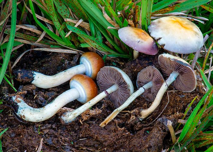 Всё, что вам нужно знать о Psilocybe cubensis