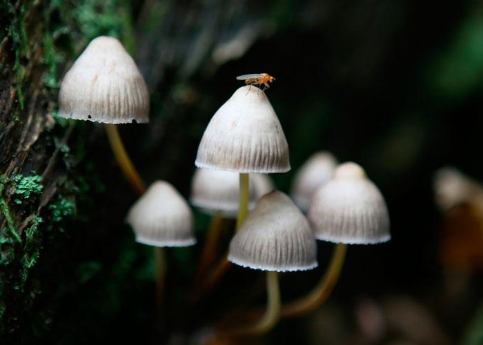 Какие бывают псилоцибиновые грибы?