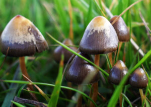 Изучение свойств грибов с псилоцибином и их законность РФ