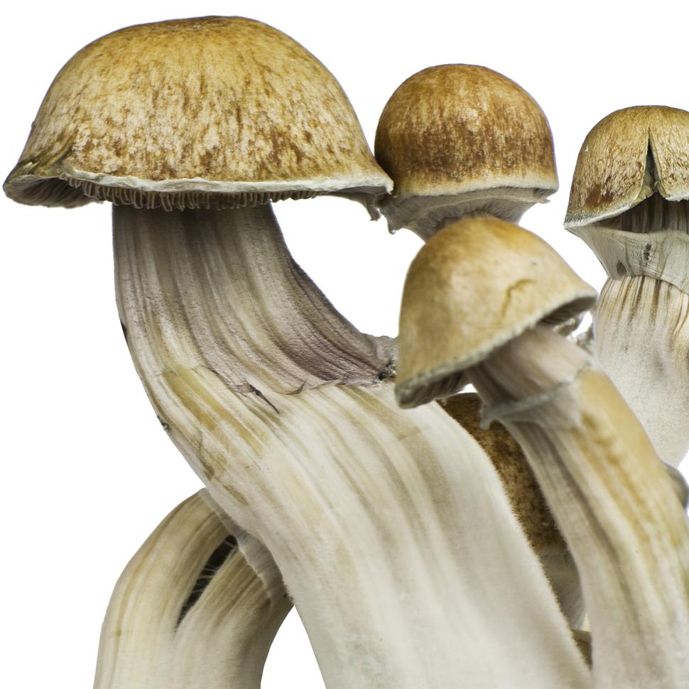 Описание внешнего вида Psilocibe cubensis «Hawaii»