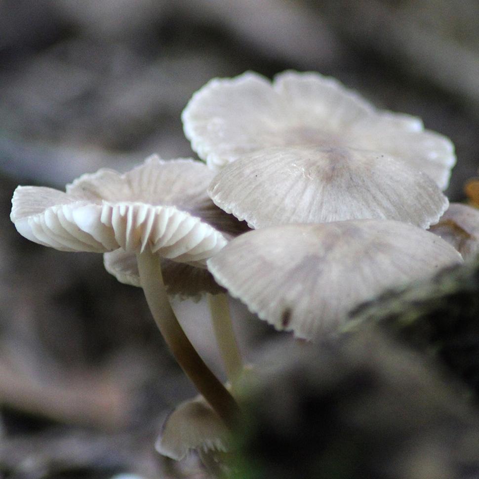 Mycena cyanorrhiza Quel