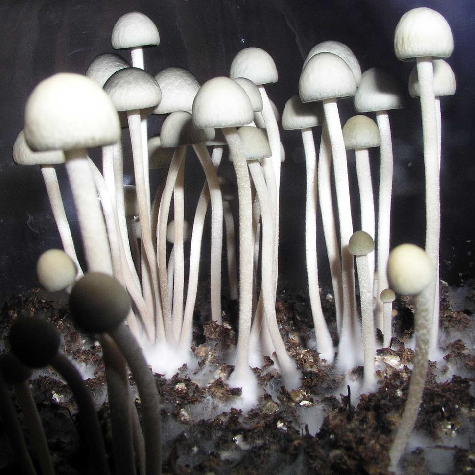 Описание внешнего вида Panaeolus Cyanescens Jamaica