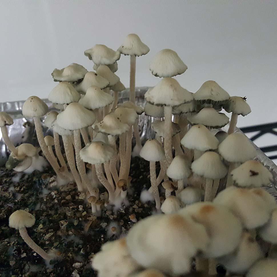 Описание внешнего вида Panaeolus Cyanescens Texas