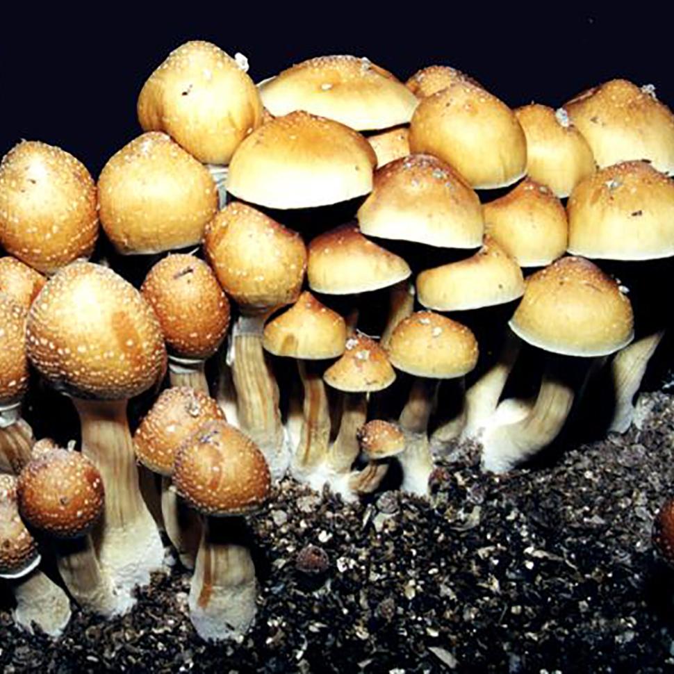 Psilocybe cubensis St Plantasia Mystery