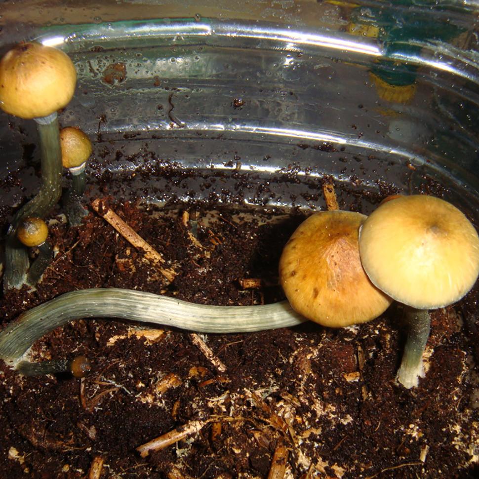 Происхождение стрейна Psilocibe cubensis Matias Romero