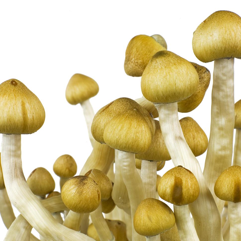 Описание внешнего вида Psilocibe cubensis «Mazatapec»