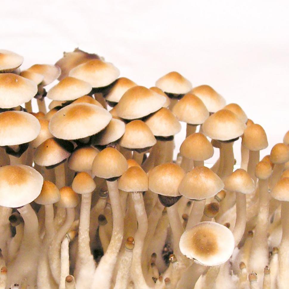 Происхождение стрейна Psilocybe cubensis Pensacola