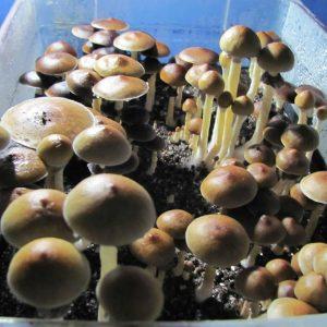 Psilocybe cubensis Wollongong