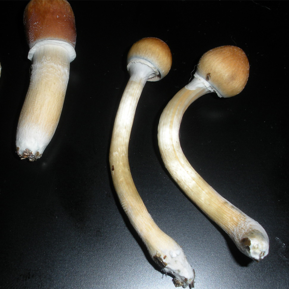 Описание внешнего вида Psilocibe cubensis Huatla