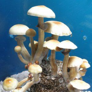 Psilocybe cubensis Florida White