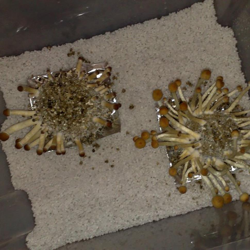 Субстрат для мицелия Psilocybe cubensis «Tulum»
