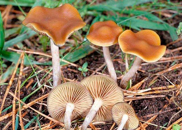 Где растет синеющий грибочек?